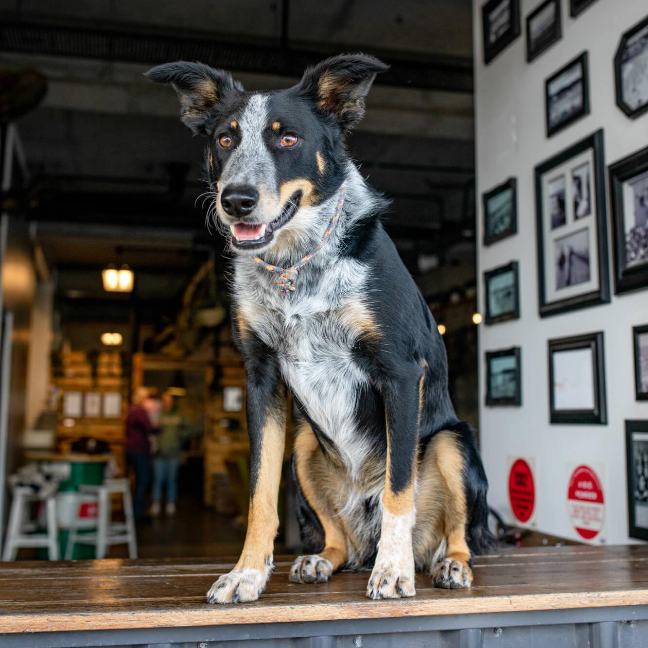 Henry Newman - Boss Dog